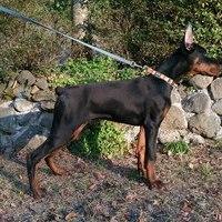 ドーベルマン子犬のサムネイル