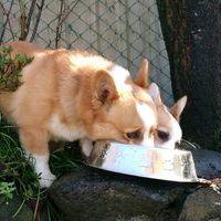 Wコーギー子犬のサムネイル